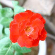Hoa hồng rủ đức