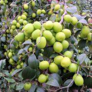 Cây táo đào vàng