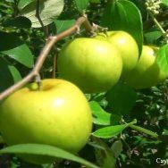 Cây táo thái