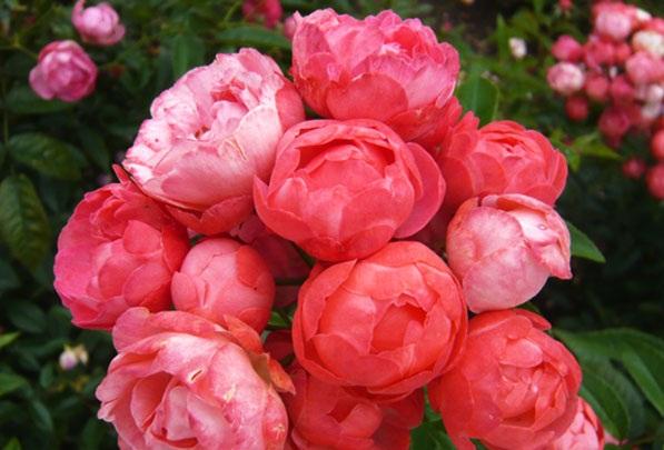 Hoa hồng trứng