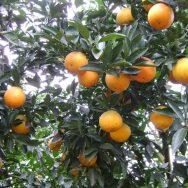 Cây cam vinh