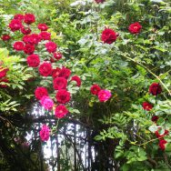 Hoa hồng leo tường vy