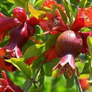 Cây lựu đỏ