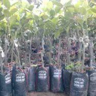 Giống cây mít không hạt