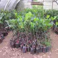 Giống cây Mít Thái siêu sớm