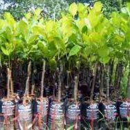 Giống cây mít tứ quý